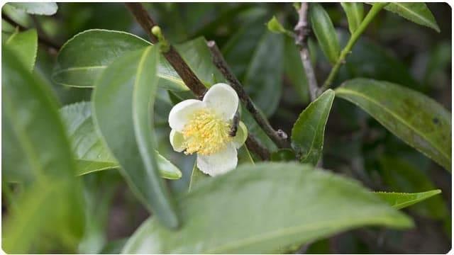 comprar aceite esencial de árbol del té